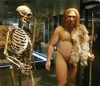 A neanderthal skeleton is supported next to a depiction of what it would look like alive. The neanderthal has skin that is tan, hairy, and has the complexion of a caucasian. The face has a large beard and long reddish brown hair.