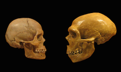 Two skulls sit on a black background. The left skull is that of a human, while the right is that of a neanderthal. The two skulls face each other.