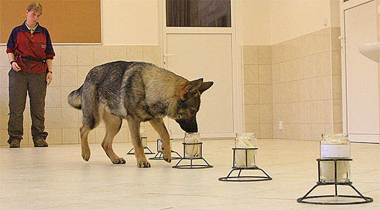 Dog detecting scents