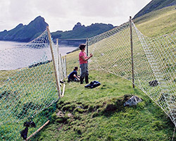 Net traps to catch sheep