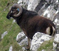 Male Soay sheep