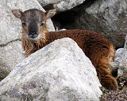 Soay lamb