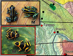 Small poison frog map