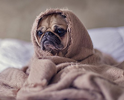 A pug breed dog wrapped in a blanket on a bed