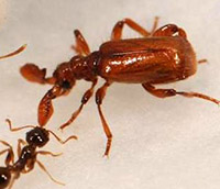 Mimic beetle interacting with ant