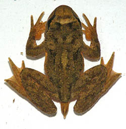 A top image of a fanged frog resting on a white surface. The frog is brown, and it's 4 limbs are slightly spread out. Additionally, it has an intromittent organ on it's tail end. This organ extends out away from the body and is relatively small in relation to the other limbs.