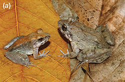 A male and female fanged frog sit on a large brown leaf. The male sits on the left and is about half the size of the female on the right. They are both a similar brown color, and sit facing one another.