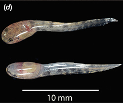 two tadpoles rest horizontally on a black background. Their heads are on the left side of the images, tails on the right. The heads have a brown color almost similar to the adult frog, but the tails are black and transparent in color.