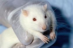 a hand wearing a clear rubber glove holds a white rat. The rat is big and hairy, but looks to be well groomed. It's big whiskers are close to the image, as it is a zoomed in image of it's face and head.
