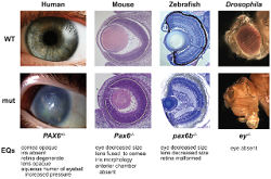eye abnormalities across species