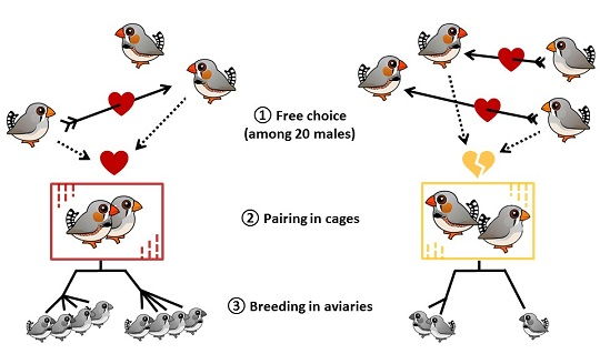 Zebra finch experimental design