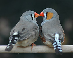 zebra finches beak to beak