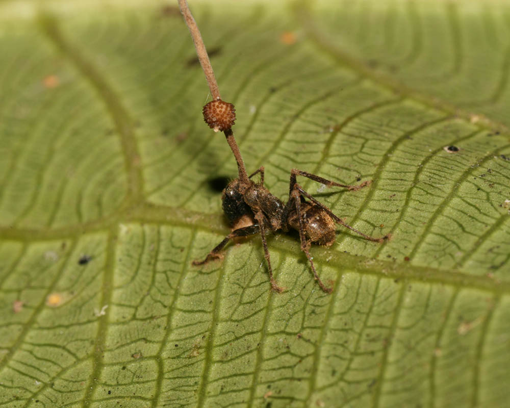When Fungus Controls Ant Behavior | ASU - Ask A Biologist