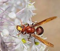 a vespa hornet sits on the edge of a white flower. The hornet has large copper-colored wings and its body is brown-ish red. It has a yellow region on the top of its head.