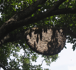 the branches of a large tree are shown, stemming from the left side of the screen. The branches, covered in green leaves, hold a large honeybee nest. The nest is large and brown and appears to be swarming with bees.