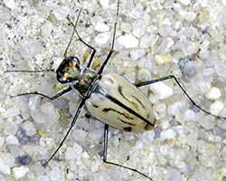 Eastern beach tiger beetle