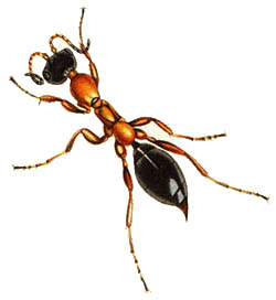 Methoca wasp
