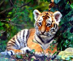 Tigers are Grrrrreat! | ASU - Ask A Biologist