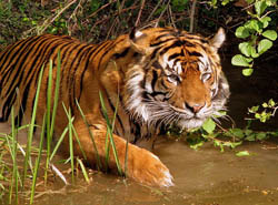 A tiger walking through water