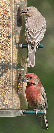 House Finches at a bird feeder