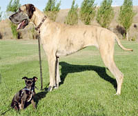 A great dane next to a chihuahua