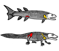 Fish to Limb Evolution