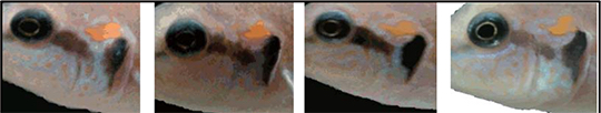4 cichlid fish faces are shown in individual images from left to right.
