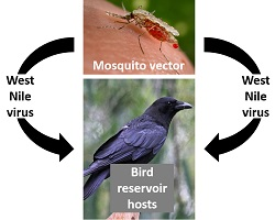 The image shows an arrow diagram depicting the spread of West Nile Virsus between mosquitoes and birds and humans.