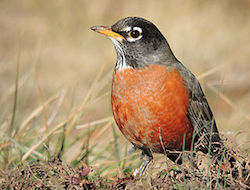 This is an image of an american robin sitting in a field of brown-colored grass. The bird has an orange belly with dark gray head and feathers. It's head is facing to the left.