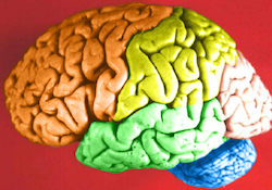 A human brain is prepared by dying the different lobes different colors to show them. The frontal lobe is orange, temporal is green, parietal is yellow, and the occipital is pink. The cerebellum is blue.