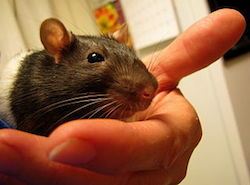 a close-up picture or a rat. The rat is being held in the left hand of a caucasian male. the image is from the front left side of the rat's face. The front of it's body is dark gray, and the back half of it's body is white.