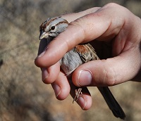 Rufous winged sparrow in hand