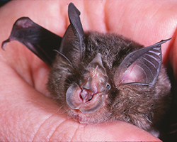 Eastern Horseshoe Bat being held in someone's hand