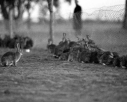 Rabbits lined up along a fence in Australia; taken by Frederick Halmarick, 1949.