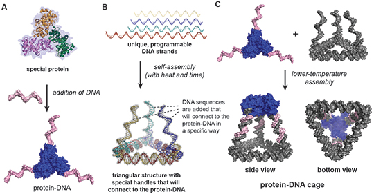 How to build a DNA-protein cage