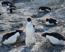 Adelie penguins in dirty snow