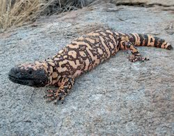 Gila monster laying on a rock, looking at the camera