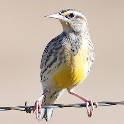 Eastern meadowlark by ALAN SCHMIERER