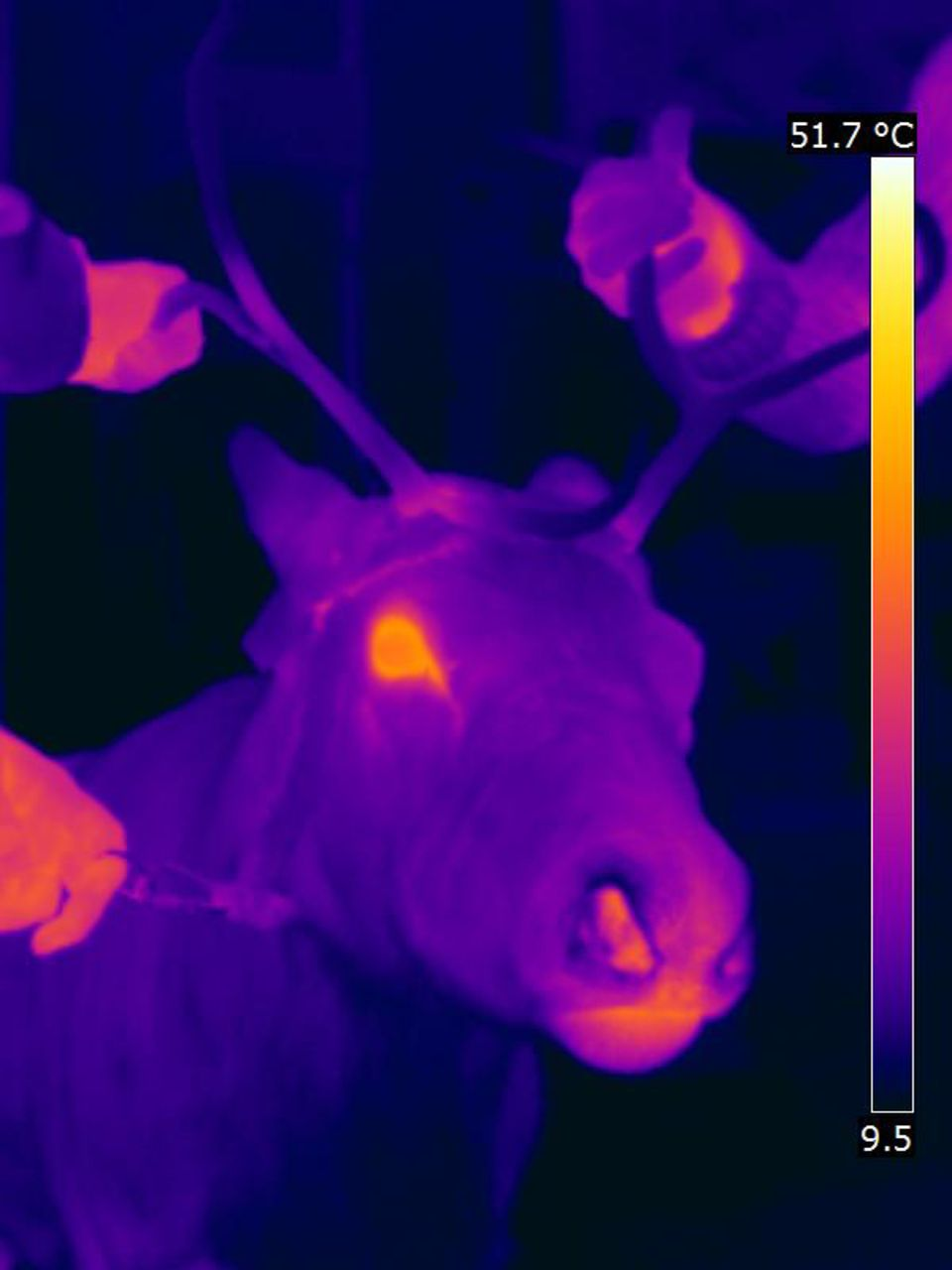rudolph the red nosed reindeer asu ask a biologist