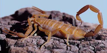 Scorpion Facts | ASU - Ask A Biologist