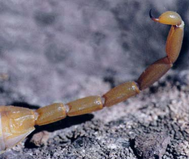 Learn About Scorpions | Ask A Biologist
