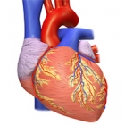 Illustration of a human heart