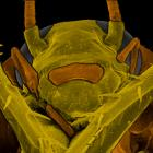 """Periplanta americana """"La Cucaracha"""" Cockroach"""
