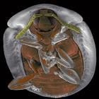 Beetle T