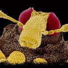 Weevil  (Coleoptera)