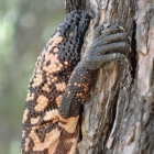 A Gila monster in a pine tree