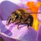 Honey bee on a flower petal