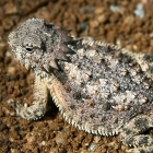 A horned lizard on a background of rocks