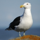 A white and black seagull with an orange and red beak