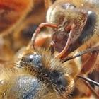 Bees touching antennae